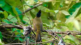 Zwart-kuif vogel Bulbul stock footage