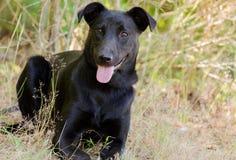 Zwart Laboratorium Jack Russell Mixed Breed Dog Stock Fotografie