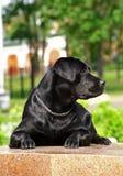 Zwart Labrador Royalty-vrije Stock Afbeelding