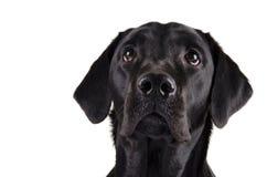 Zwart Labrador Royalty-vrije Stock Afbeeldingen