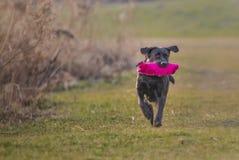 Zwart Labrador Stock Foto's