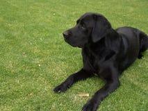 Zwart Labrador die op gras leggen stock foto