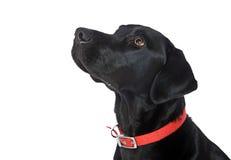 Zwart Labrador kijkt omhoog van Camera royalty-vrije stock foto's