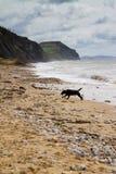 Zwart Labrador op strand Charmouth in Dorset Stock Afbeeldingen