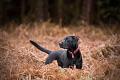 Zwart Labrador in Platteland Royalty-vrije Stock Foto's