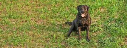 Zwart labrador retriever stock foto