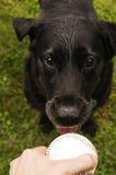 Zwart labrador retriever die bal halen stock fotografie