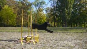 Zwart labrador retriever die bij hindernis springen stock videobeelden