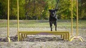Zwart labrador retriever die bij hindernis springen stock footage