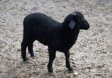 Zwart lam Stock Foto