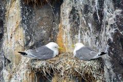 Zwart-legged drieteenmeeuwen, Farne-Eilandennatuurreservaat, Engeland Royalty-vrije Stock Foto's