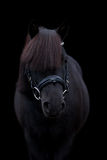 Zwart leuk poneyportret op zwarte achtergrond Royalty-vrije Stock Afbeeldingen