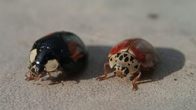 Zwart lieveheersbeestje die zijn benen schoonmaken dichtbij rode  stock videobeelden