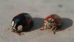 Zwart lieveheersbeestje die zijn hoofd en benen schoonmaken en het kader verlaten terwijl rode wacht stock video