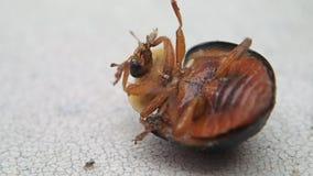 Zwart lieveheersbeestje op zijn rug stock videobeelden