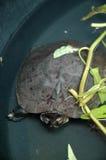Zwart Marsh Turtle Royalty-vrije Stock Foto