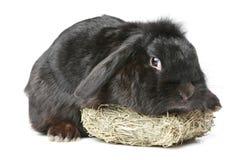 Zwart met hangende oren konijn Stock Afbeelding