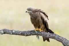 Zwart Milaan (Milvus migrans) Royalty-vrije Stock Afbeeldingen