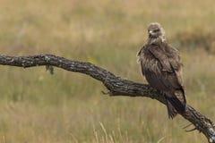 Zwart Milaan, (Milvus migrans) Stock Fotografie