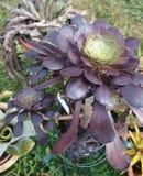 Zwart nam Aeonium-arboreum 'Zwartkop' toe Stock Afbeeldingen