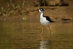 Zwart-necked Stelt - Himantopus-mexicanus plaatselijk overvloedige shorebird van Amerikaanse moerasland en kustlijnen Zwart-witte royalty-vrije stock fotografie