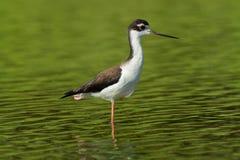 Zwart-necked Stelt - Himantopus-mexicanus plaatselijk overvloedige shorebird van Amerikaanse moerasland en kustlijnen Zwart-witte royalty-vrije stock foto's