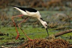 Zwart-Necked Stelt op Nest Royalty-vrije Stock Afbeelding