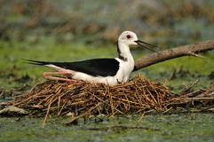 Zwart-Necked Stelt op Nest Stock Afbeelding