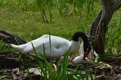Zwart-necked zwaan Royalty-vrije Stock Foto