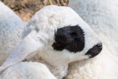 Zwart Ogenschapen of Ram Animal in Box Dichte Omhooggaand stock afbeeldingen