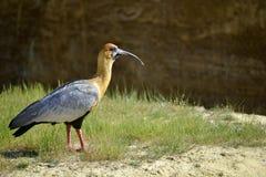 Zwart-onder ogen gezien Ibis op gras Stock Afbeeldingen