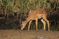 Zwart-onder ogen gezien Impala Royalty-vrije Stock Foto's