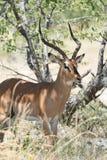 Zwart-onder ogen gezien Impala Stock Fotografie