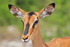 Zwart-onder ogen gezien Impala - Afrikaanse het Wildachtergrond - Blik van het Leven stock foto's