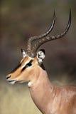 Zwart-onder ogen gezien impala mannelijke close-up, Etosha, Namibië Stock Foto