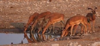 Zwart-onder ogen gezien Impala's Royalty-vrije Stock Foto