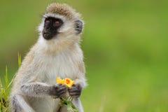 Zwart-onder ogen gezien vervet aap royalty-vrije stock afbeeldingen