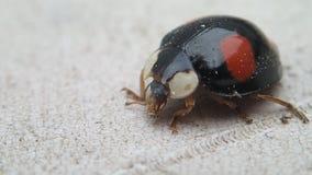 Zwart onzelieveheersbeestje die zijn mondstukken schoonmaken stock footage