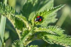 Zwart onzelieveheersbeestje met rode punten op een netel stock foto's