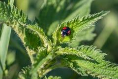 Zwart onzelieveheersbeestje met rode punten op een netel royalty-vrije stock afbeeldingen