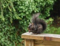 Zwart Oostelijk Grey Squirrel die okkernoten op een houten traliewerk eten stock afbeelding