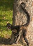 Zwart-overhandigde spinaap Stock Afbeelding
