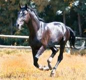 Zwart paard Stock Afbeeldingen