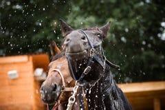 Zwart paard Royalty-vrije Stock Foto's