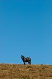 Zwart paard Royalty-vrije Stock Foto