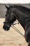 Zwart paard Royalty-vrije Stock Afbeeldingen