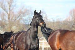 Zwart paard dat bruine paardstaart kauwt Stock Afbeeldingen