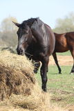 Zwart paard dat hooi eet Stock Foto