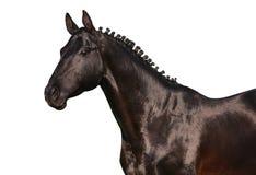 Zwart paard dat op wit wordt geïsoleerdc Stock Foto's