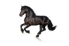 Zwart paard dat op wit wordt geïsoleerde Stock Afbeeldingen